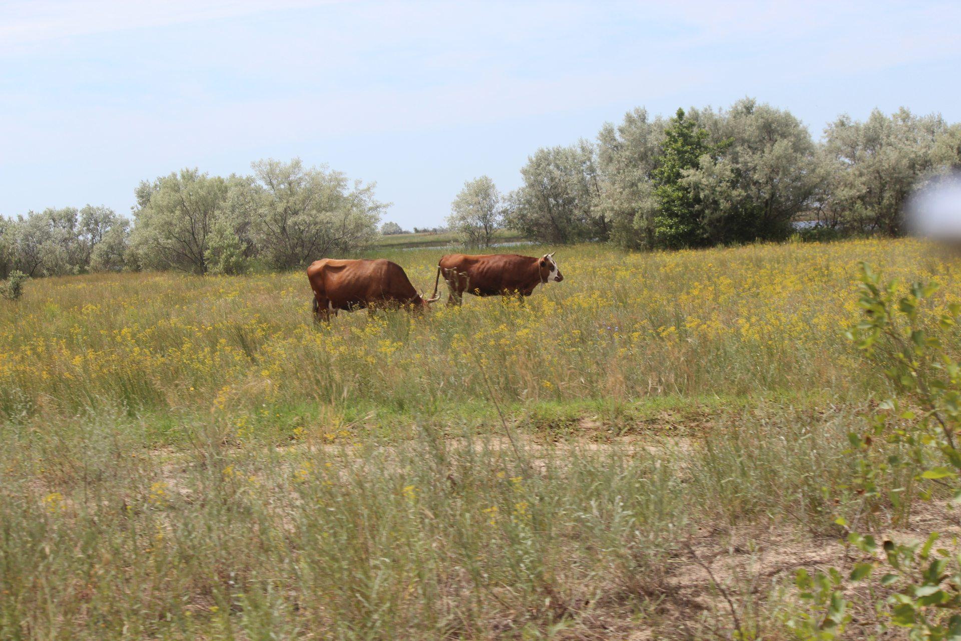корови, поголівя, зменшення