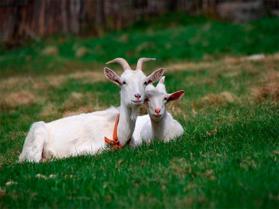 викрадач, кози, сусід