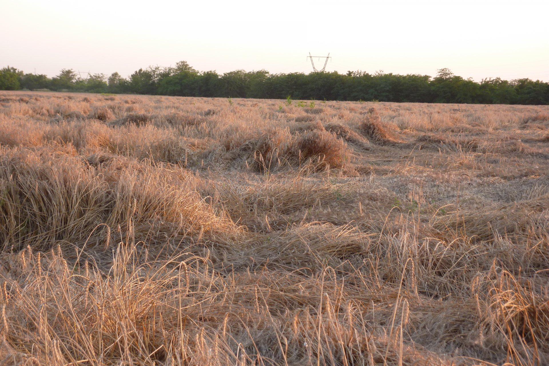 зерно, урожай, погода