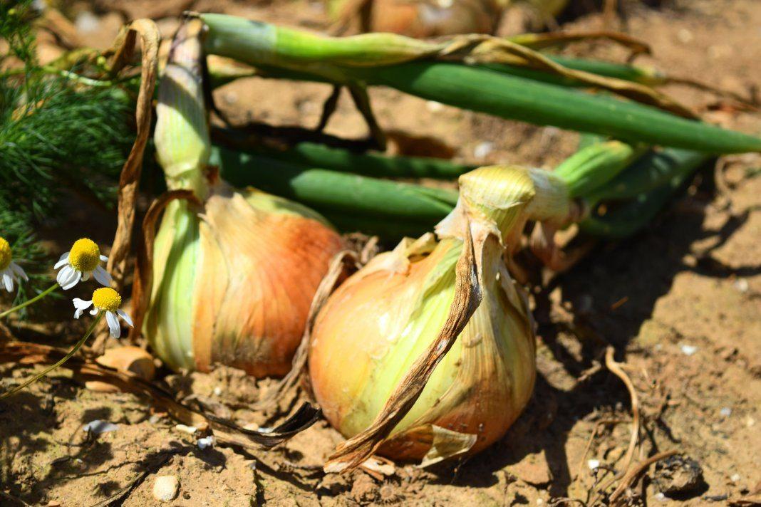 лук, овощи, урожай
