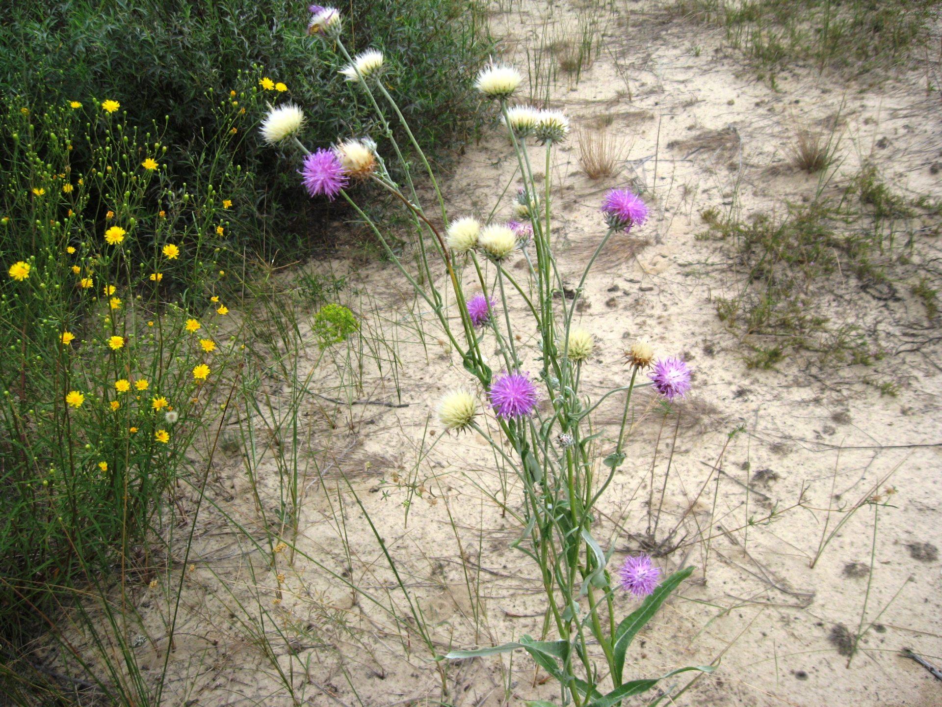 пустыня, растение, аромат