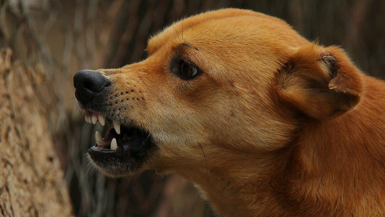 пес, укус, рана