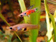 В Днепре под Херсоном расплодились аквариумные рыбки
