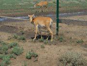 На Херсонщині китайці займаються розведенням антилоп (фото)