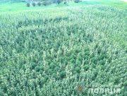 На Херсонщине полицейские обнаружили при помощи квадрокоптера крупную плантацию конопли