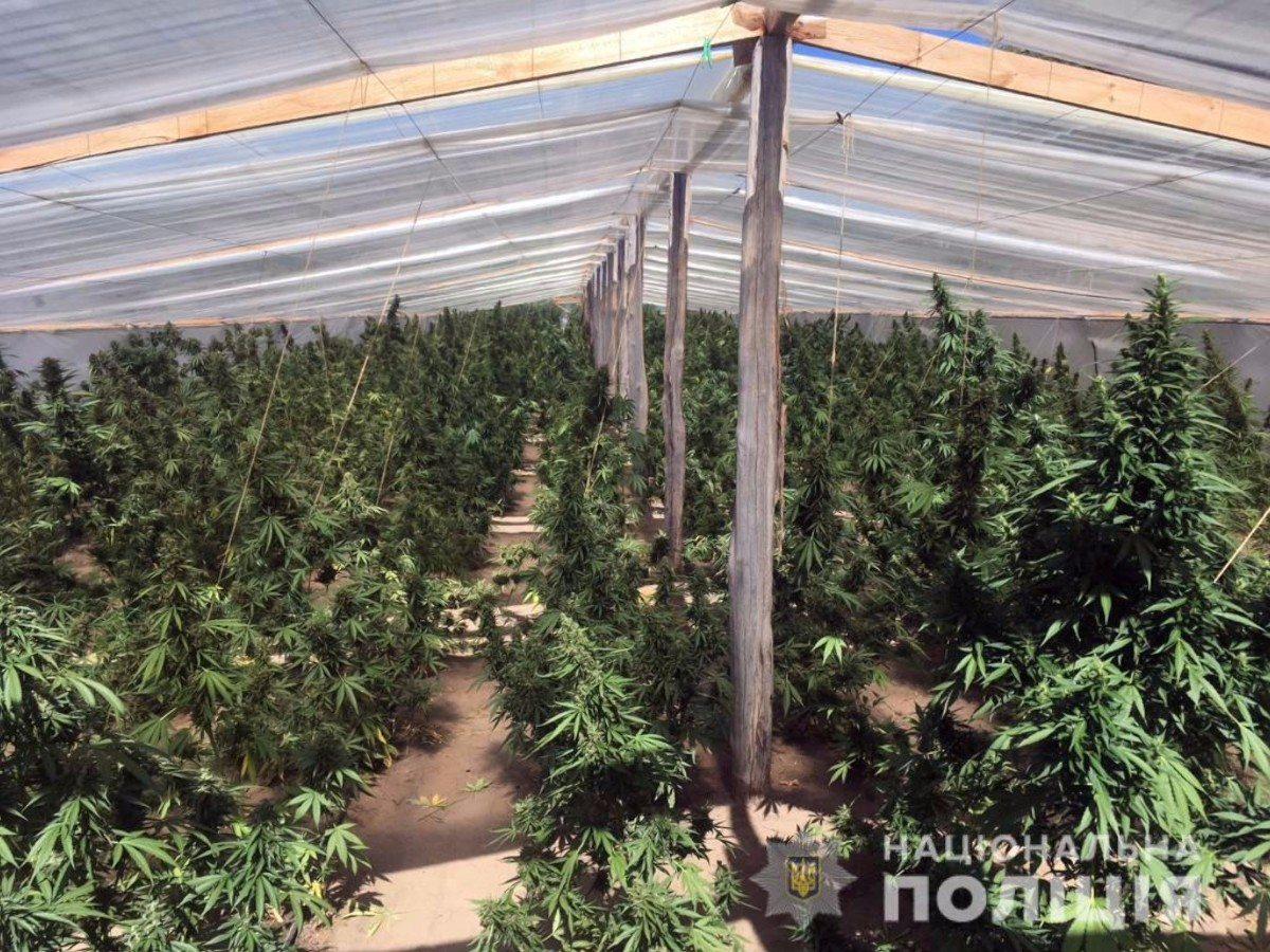 На Херсонщине двое наркодельцов вырастили марихуаны на 20 млн грн