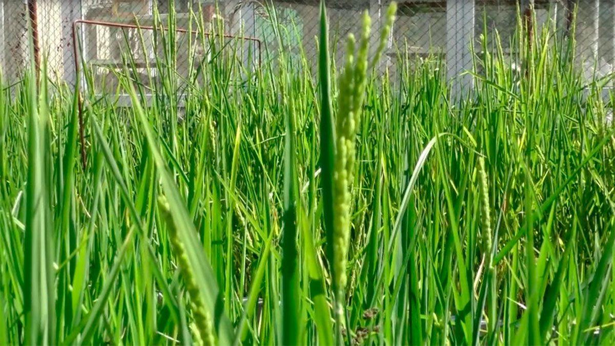Скадовськ, рис, вирощування