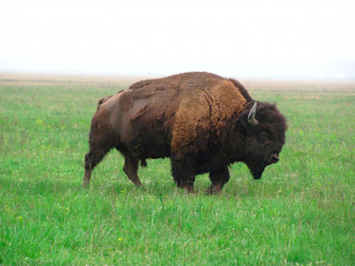 На Херсонщине известного телеведущего едва не растоптал бизон