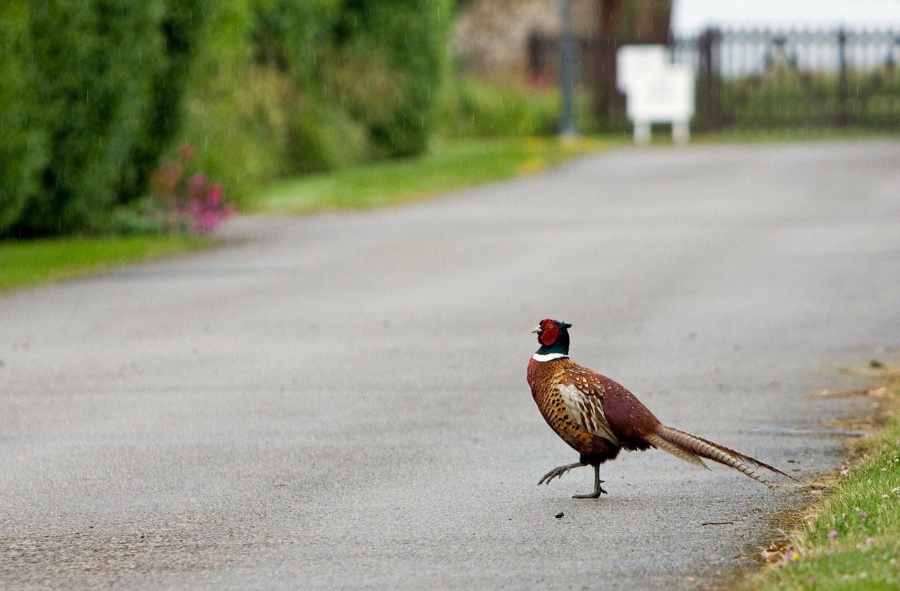 фазаны, водитель, дорога