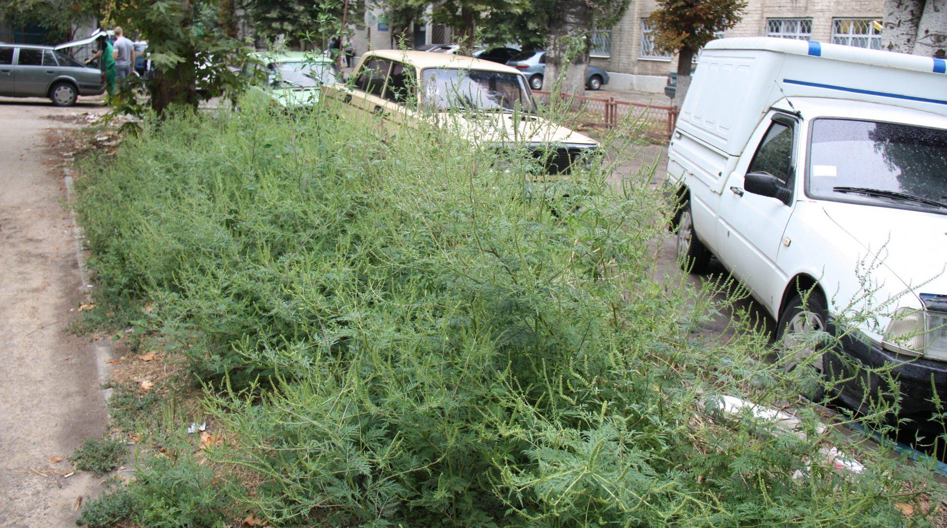амброзия, покос, гербициды