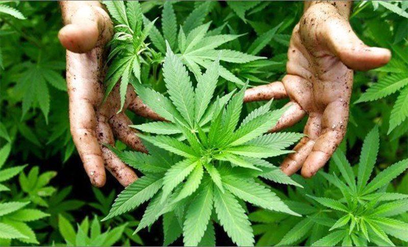 На Херсонщині хочуть легалізувати марихуану