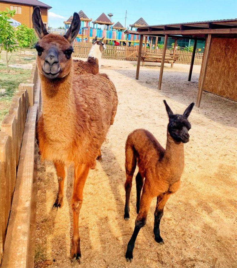 лама, сафарі-парк, народилась
