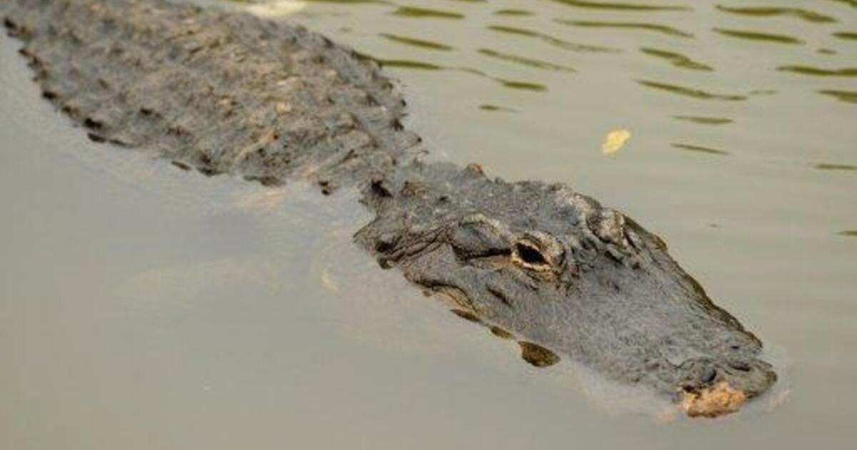 крокодил, Арабатка, нашли