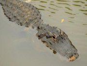 Беглого крокодила нашли на Арабатке
