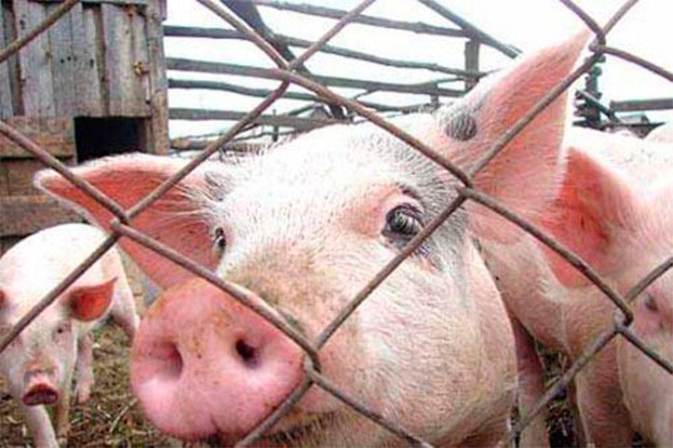 парк, свині, спалах чуми