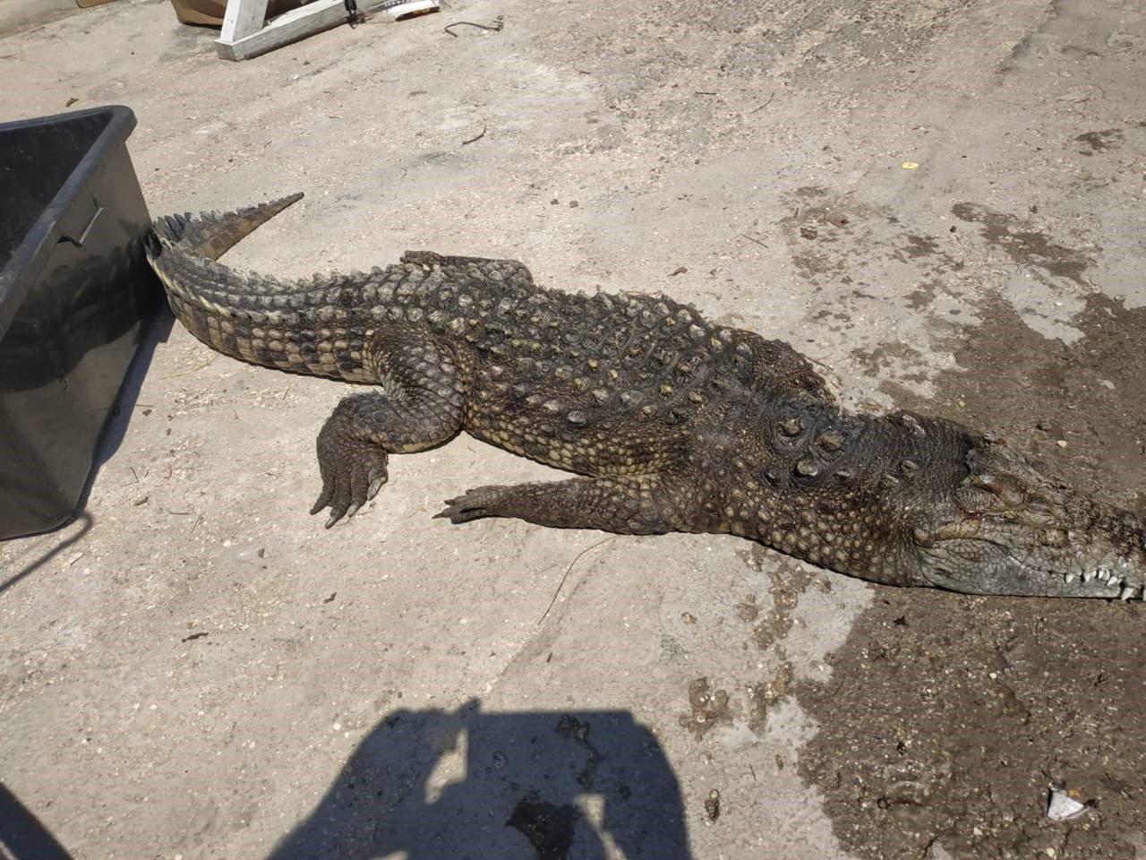 Арабатская стрелка, крокодил, Яновский