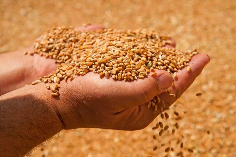 пшениця, жнива, зібрано