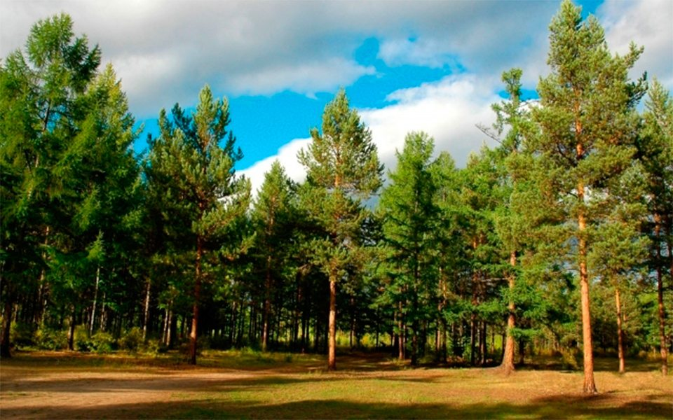 ліси, шкідники, сосна