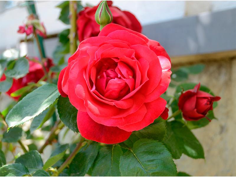 У Херсоні «Троянди - Героям»