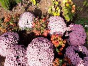 В Херсонском госуниверситете готовятся к Балу хризантем