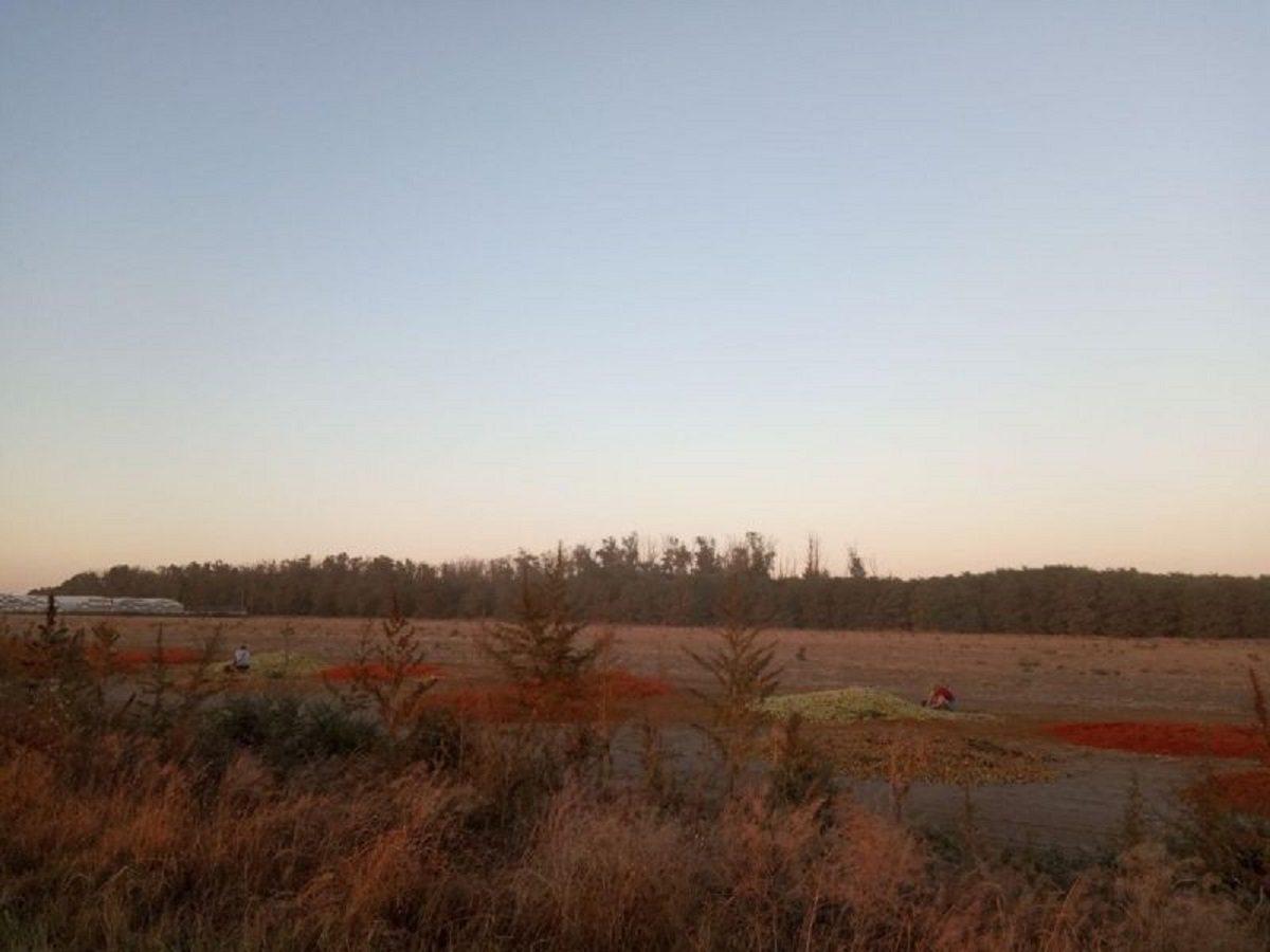 На Херсонщине выбрасывают горы недоспелых помидоров