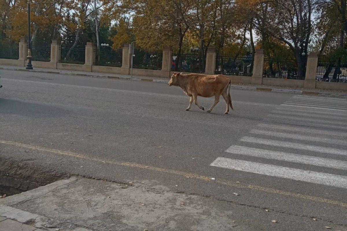 По Скадовску гуляла потерявшаяся корова (видео)