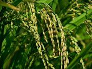 На Херсонщині розпочали збирання рису