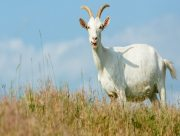Пенсионер на Херсонщине кинулся в огонь ради козы