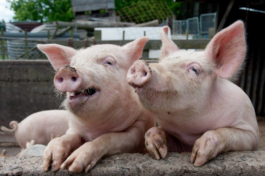 Херсонщина, чума, свині
