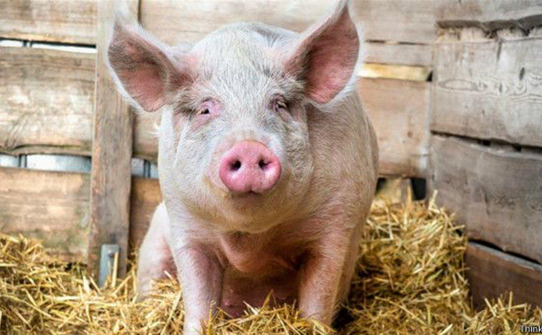 Херсонщина, кражда, свинья