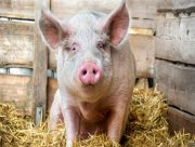 На Херсонщине две подруги попались на краже свиньи
