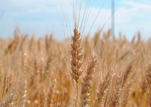 Аграрная сенсация от Росинки