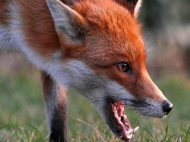 Окраины Херсона стали раем для лисиц