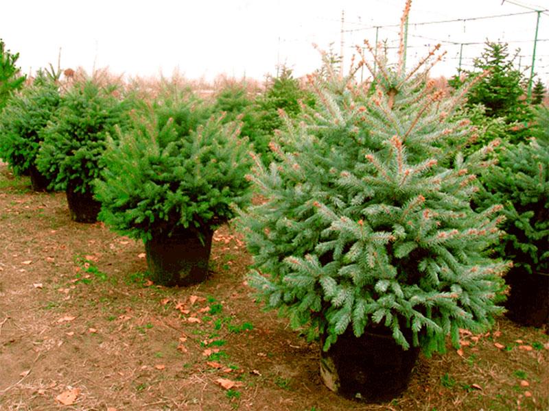 Новогодние елочки в лесхозах Херсонщины не подорожают