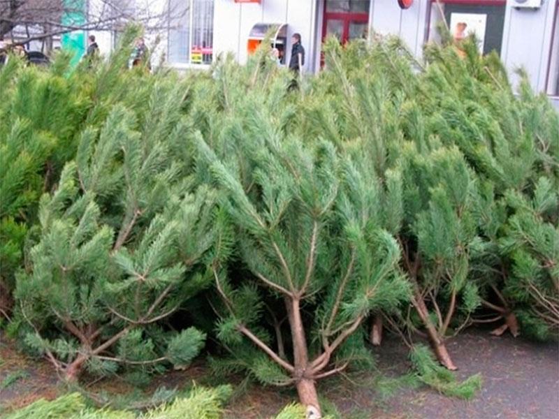 В Херсоне стало меньше желающих продавать новогодние елки
