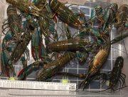 Херсонские лангусты поразили ученых