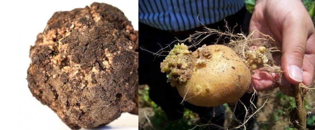 картопля, рак, служба