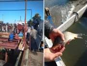 В Днепр вселили более 60 тонн рыбной молоди