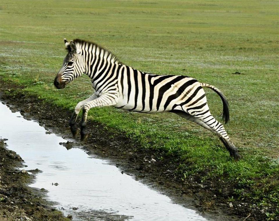 На Херсонщині стрибають зебри