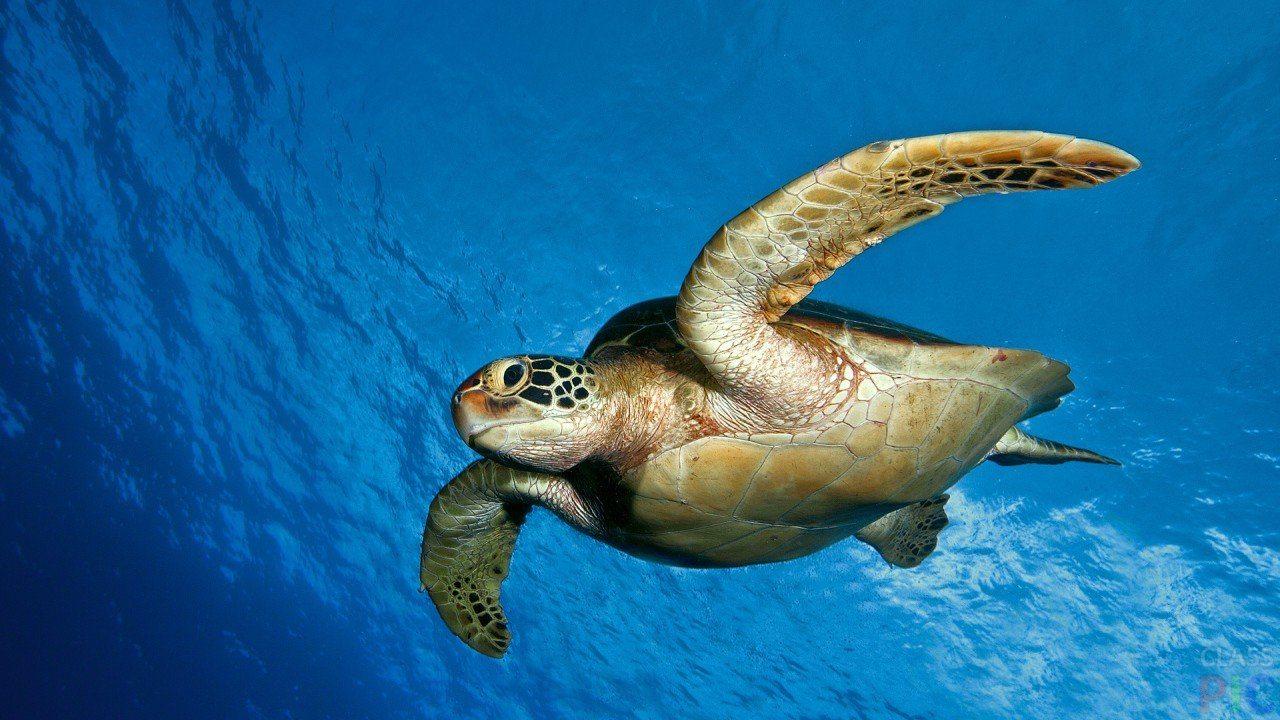 На Черноморском побережье Херсонщины поймали огромную морскую черепаху