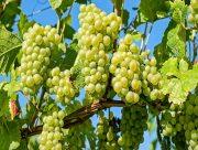 На Херсонщині аграрії завершили збирання винограду