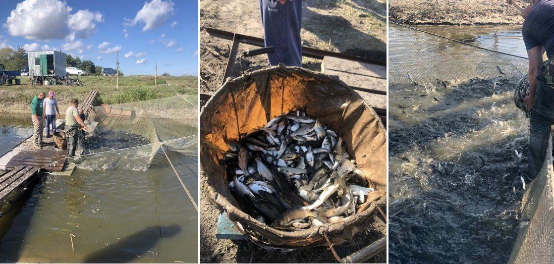 В низовья Днепра вселено ещё более 200 тысяч экземпляров рыбы