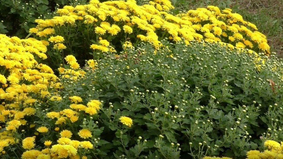 У ботанічному саду Херсонського держуніверситету розпочався бал хризантем