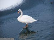 Подбитый лебедь Скадовска