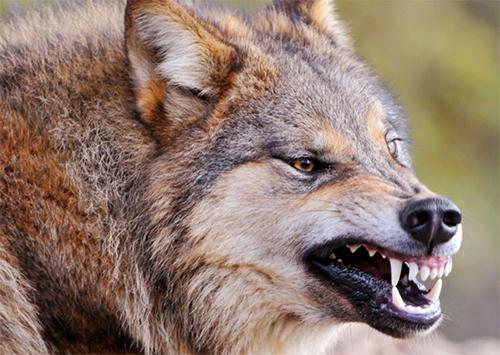 На Херсонщине бешеный волк устроил настоящую резню