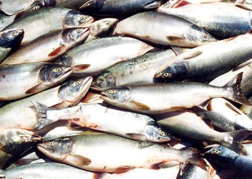 За цей рік в Каховському водосховищі виловили 322 тонни риби