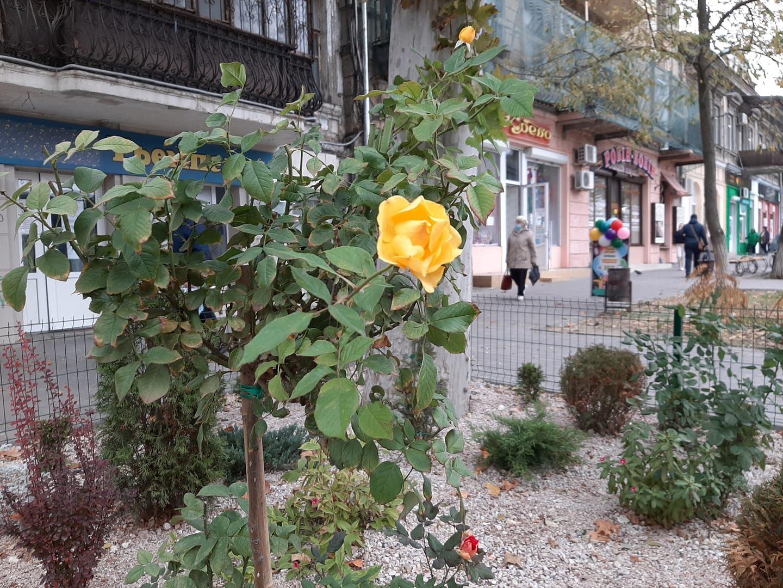 Розовое дерево в Херсоне