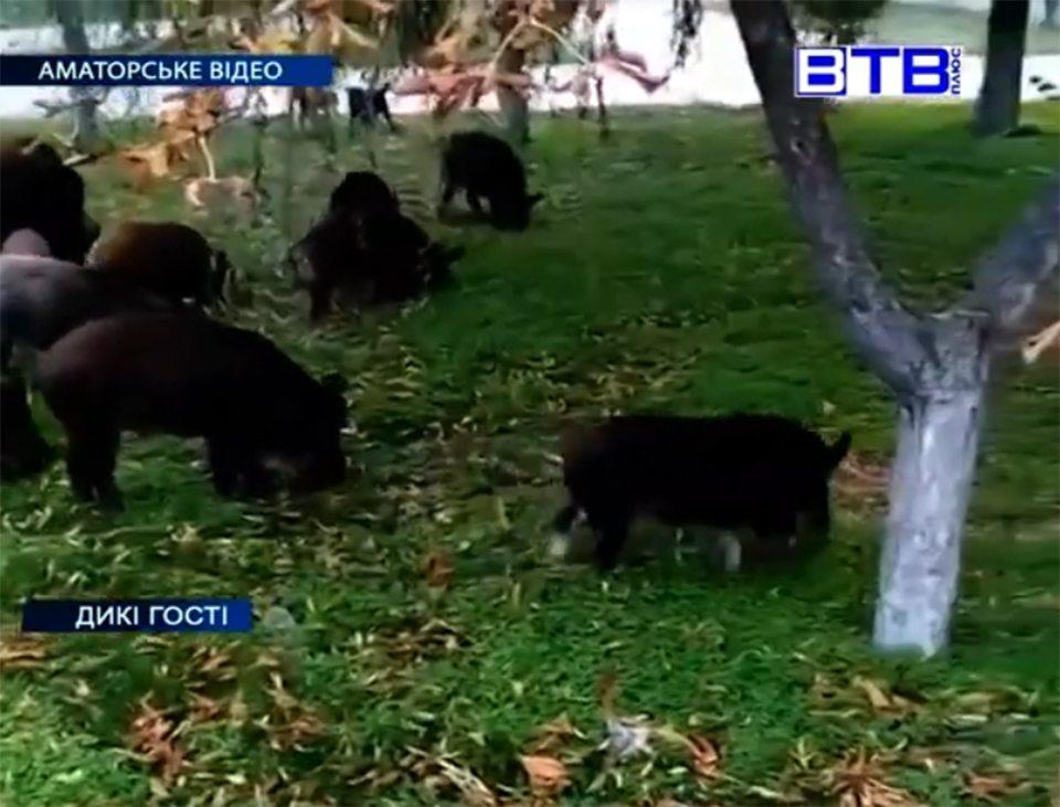 На Херсонщині до міста прийшли дикі свині