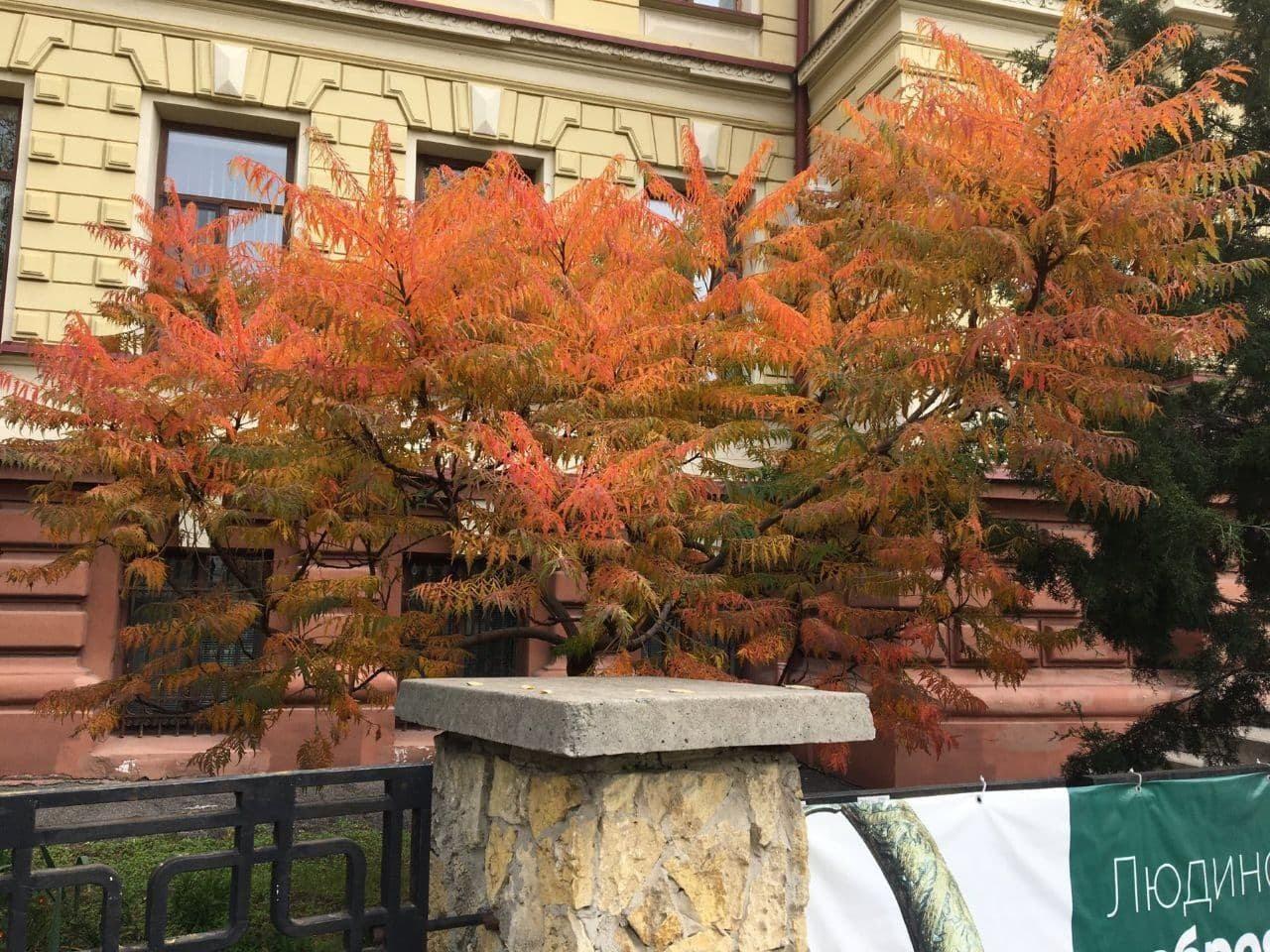 Біля музею в Херсоні культивують незвичайне дерево