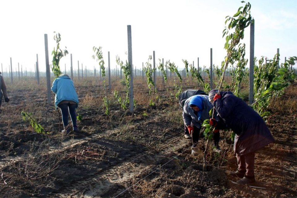 На Херсонщині висадить тридцять тисяч фруктових дерев